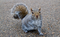 One of many semi-tame squirrels in Hyde Park